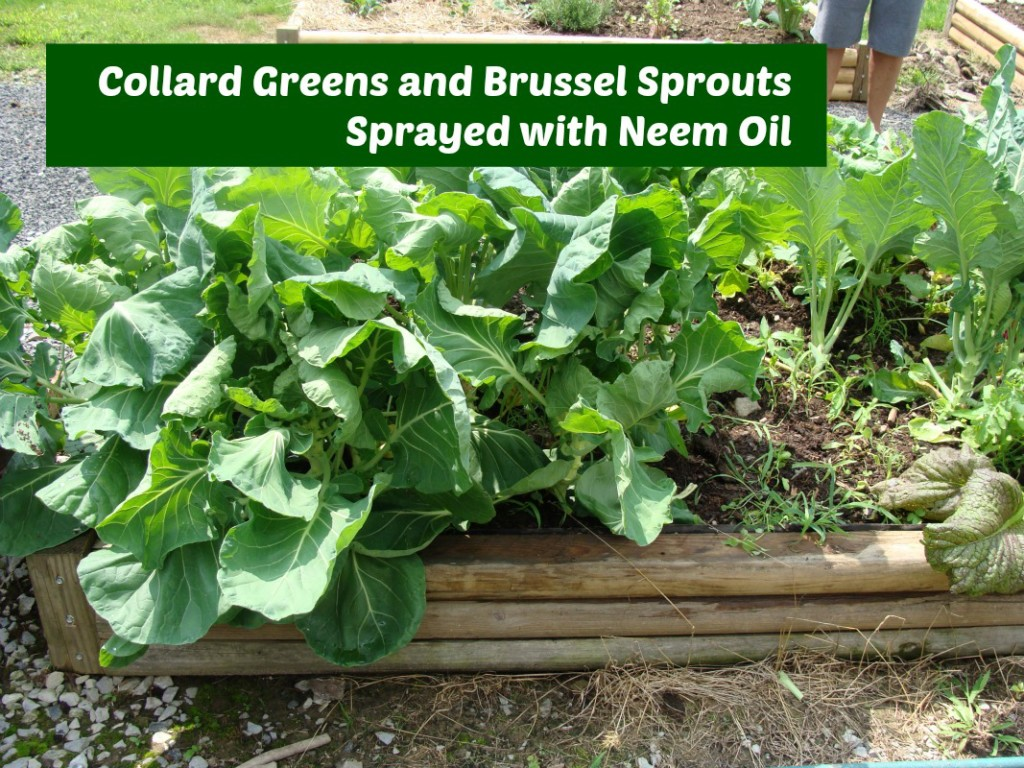 Neem Oil Spray for Garden Pests