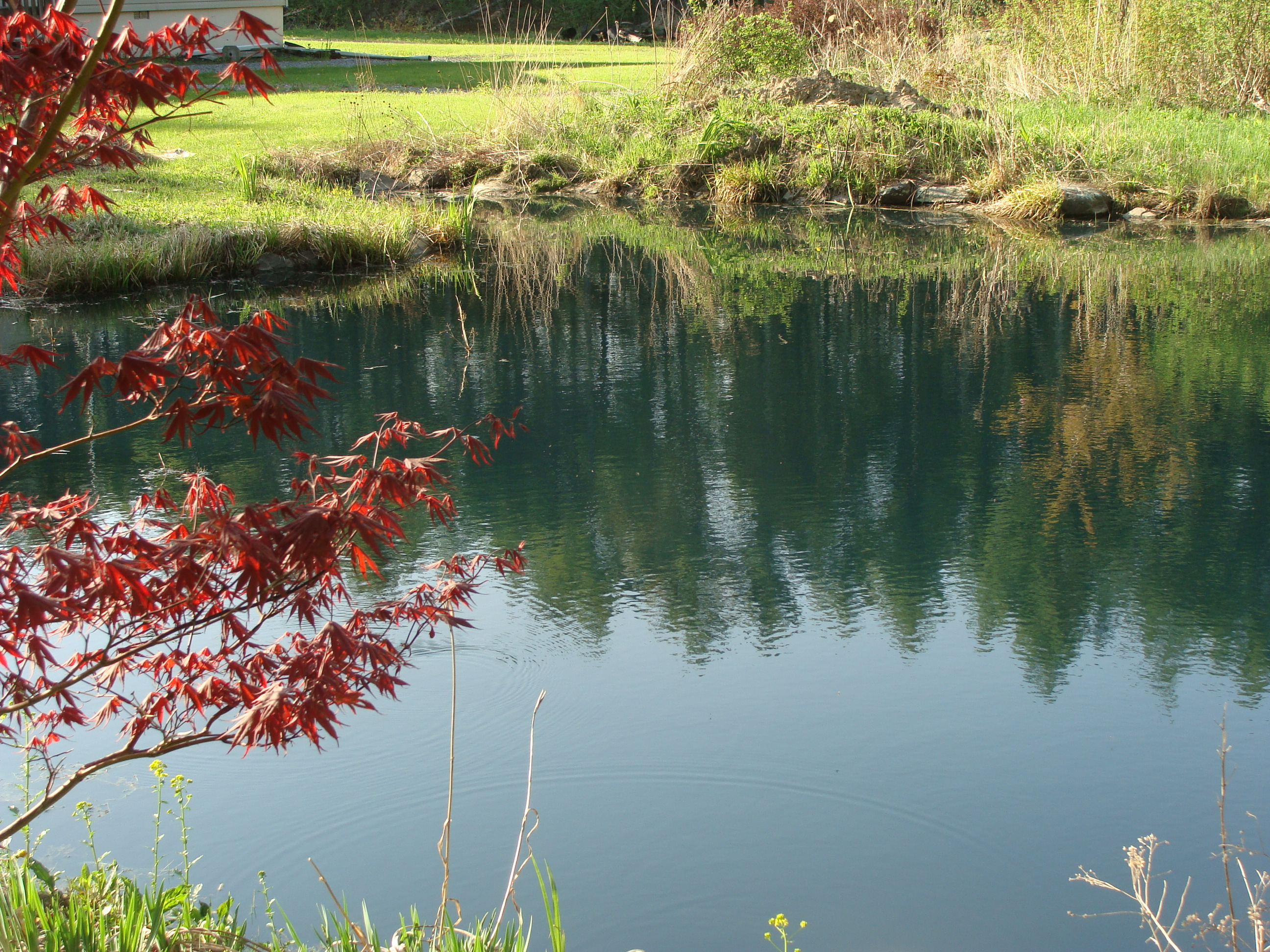 Pond After Dye Red Maple View